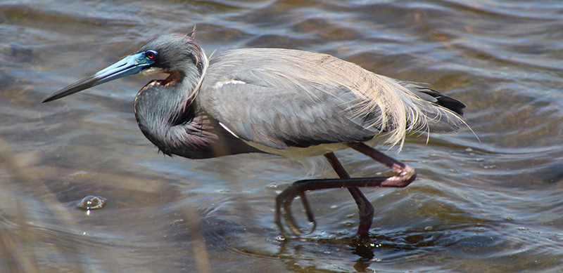 Great Blue Heron. (All photos this page by Robert W. Schamerhorn)