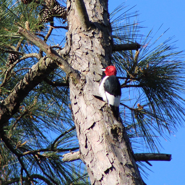 Redheaded Woodpecker.