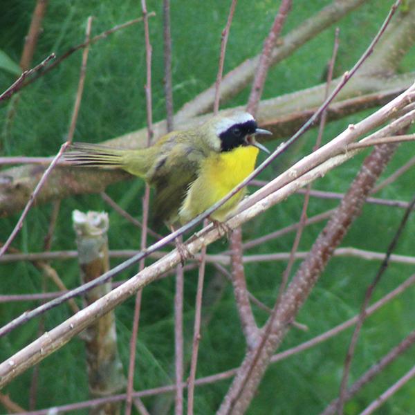 Common Yellowthroat Warbler.