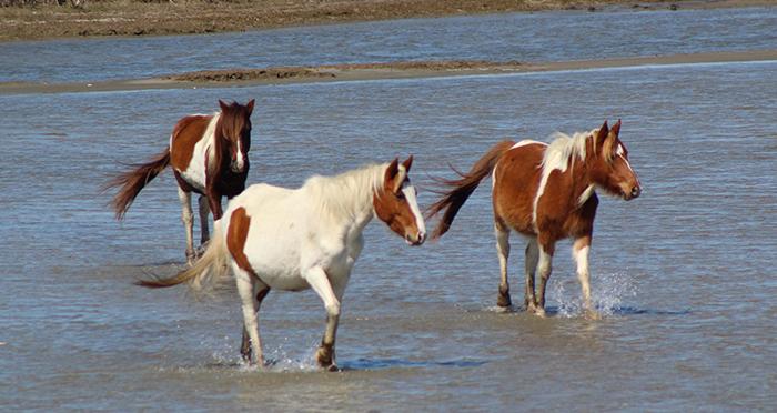 chincoteague-wild-ponies.jpg