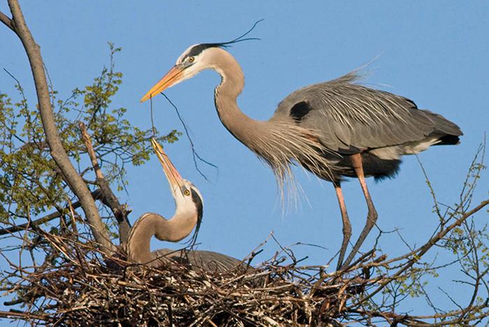 Great Blue Herons, Photo: Robert W. Schamerhorn