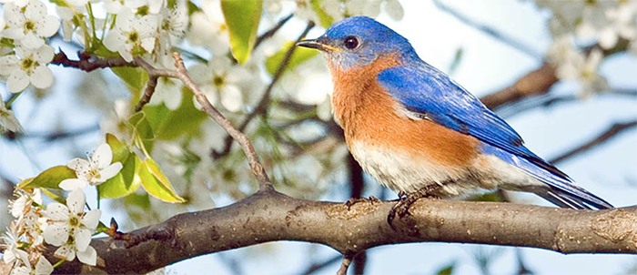 Eastern Bluebird, Photo: Robert W. Schamerhorn