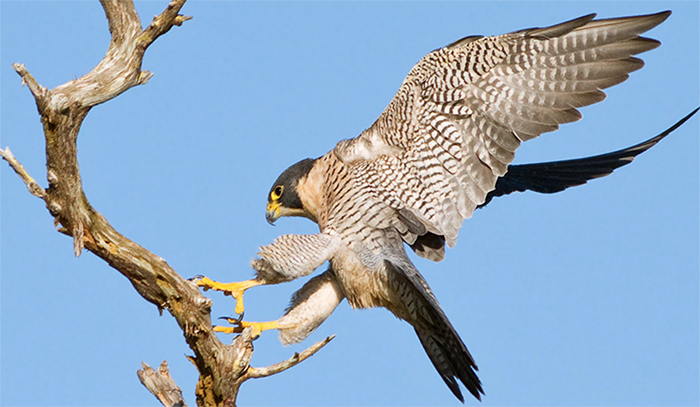 Peregrine Falcon, Photo by Robert W. Schamerhorn