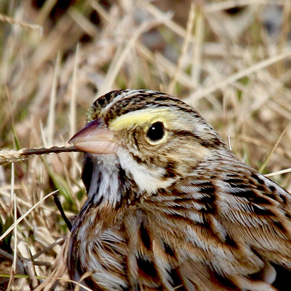 """WACHAPREAGUE - IN BRIEF: A salty """"seaside"""" town with a fine restaurant, ideal for a short stop to scan marshes at any time of year, or as base for boating or kayaking explorations into the seaside marshes and lagoons.ACCESS: Public settlement. Restrooms are located at the Wachapreague Town Marina.Photo: Savannah Sparrow by Robert W. Schamerhorn"""