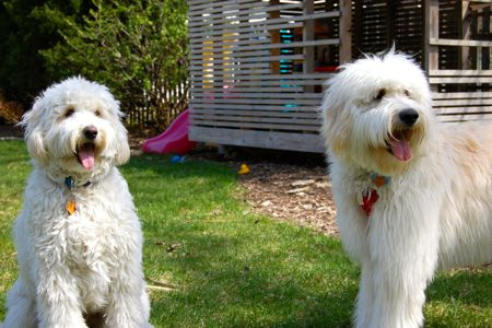 "Medium Goldendoodle $2,500 - 38-55 lbs. and 20-22"" tall"