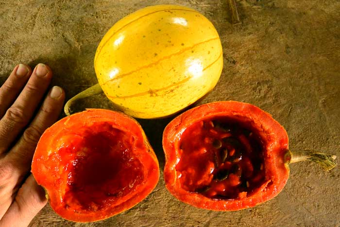 The spectacular yellow porcelain fruit of  Cionosicyos macranthus , was tracked down by Patrick Simcox in the rain forest hills of Central Panama. The fruit looks and actually tastes like a papaya. Cultivation is limited, and the species becomes more obscure each year. Joe and Patrick hope to promote its cultivation in other tropical parts of the world.