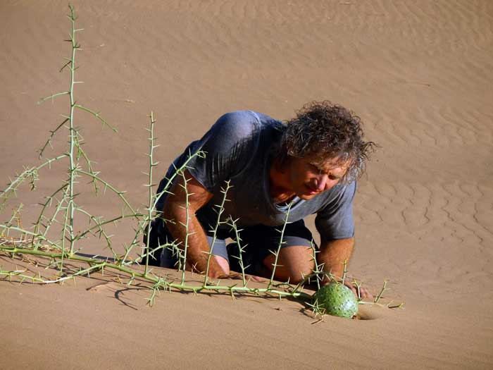 Joseph peers at a lone fruit of the Nara Melon,  Acanthosicyos horridus , in the sand dunes of coastal Namibia. The Nara melon is a wild tended plant that has been harvested by the Hero people for perhaps thousands of years. The fruits supply a delicious pulp as well as oil and nutrient rich seeds.