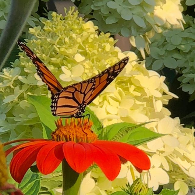 Time off from cooking in beautiful Damascus PA - love this shot!! #pennsylvania #damascusPa #nofilter #monarchbutterfly #flowers #color #upperdelaware #magical