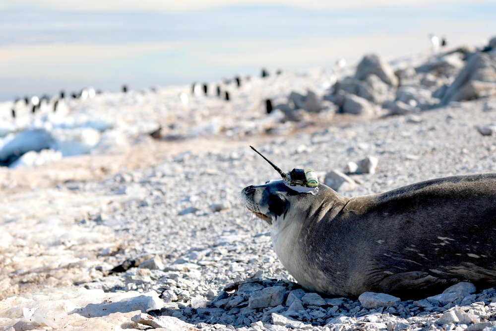 "This Weddell seal is not masquerading as a unicorn. The unique payload cap she is wearing is called a ""tag"", a device created more than a decade ago by Dr. Lars Boehme, physical oceanographer at St. Andrews University in Scotland. The tag is a small computer that collects oceanographic information around Antarctica over the period of a about year. The ""horn"" transmits (by satellite) salinity and temperature with depth and location to a web application so that scientists can monitor their partners in near real time. For more information about the program go here:     http://biology.st-andrews.ac.uk/seaos/introduction.htm  (Permit number for wildlife interactions: fco/uk permit no. 29/2018)"