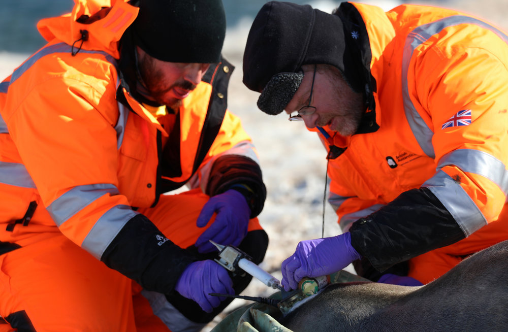 Lars Boehme and his postdoctoral research associate Gui Bortolotto carefully attach the tag to a female Weddell seal.  (Permit number for wildlife interactions: fco/uk permit no. 29/2018)