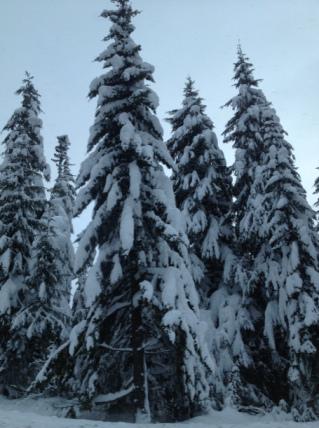 Gorgeous snow-covered trees on Mt. Hood, Oregon