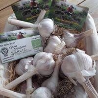 Organic Garlic Pic.jpg