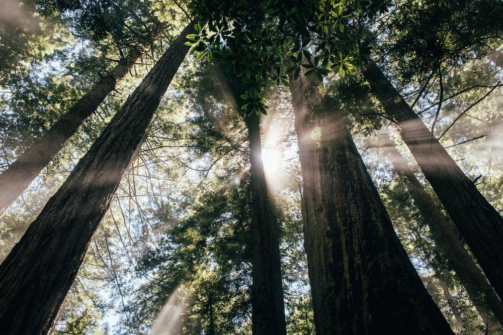 sun glints through the redwoods