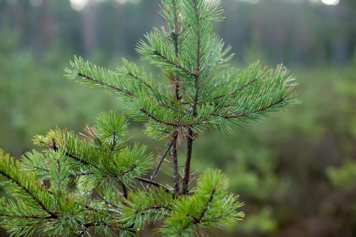 evergreen boughs