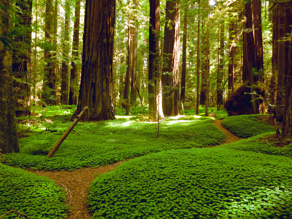 walking paths through Redwood Trees