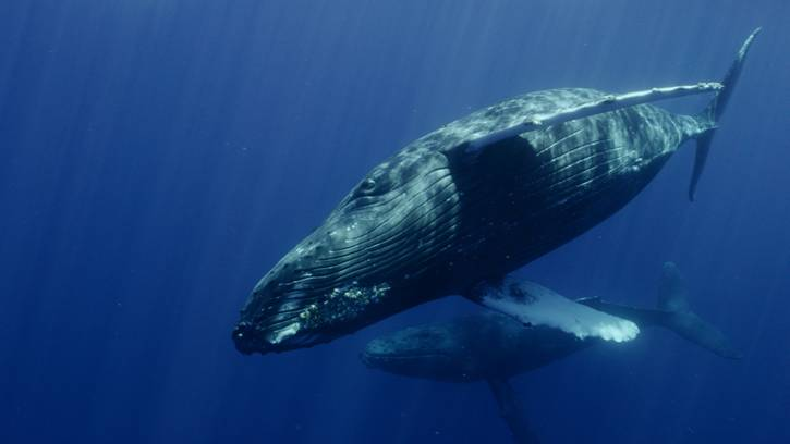 a mother whale and child floats through the blue water