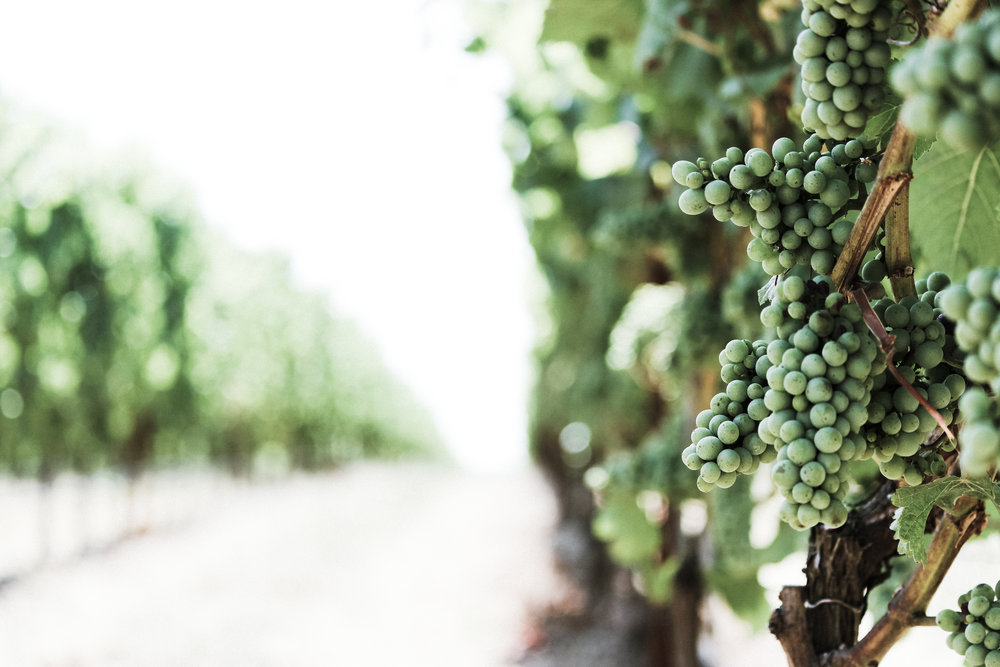 wine grapes on the vine in a sunny vineyard