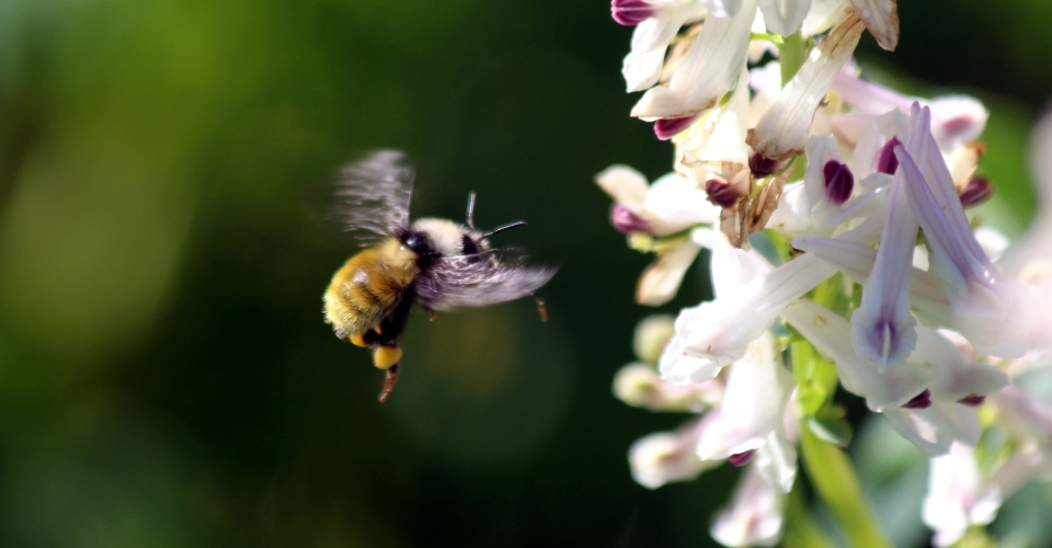 PG6-Bombus-and-Corydalis.-Photo-by-Jimmy-Lee.-960x500_c.jpg