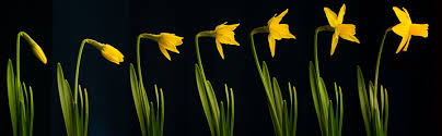 daffoldils bloom