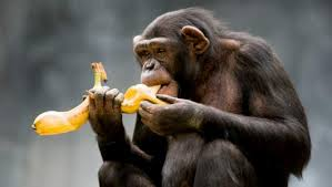 chimpbanana
