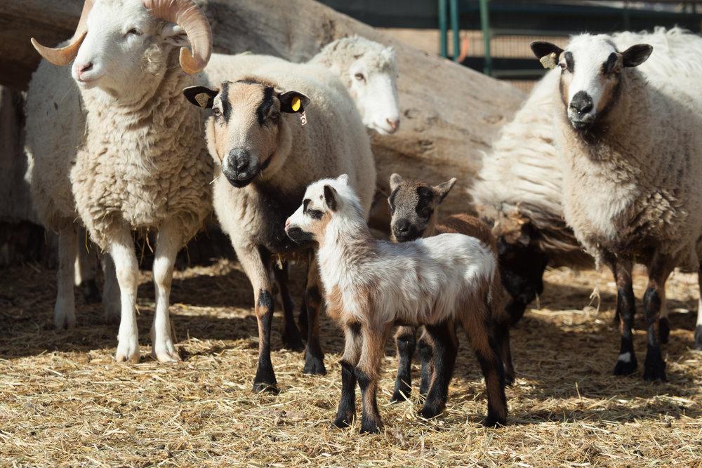 sheepandlamb.jpg