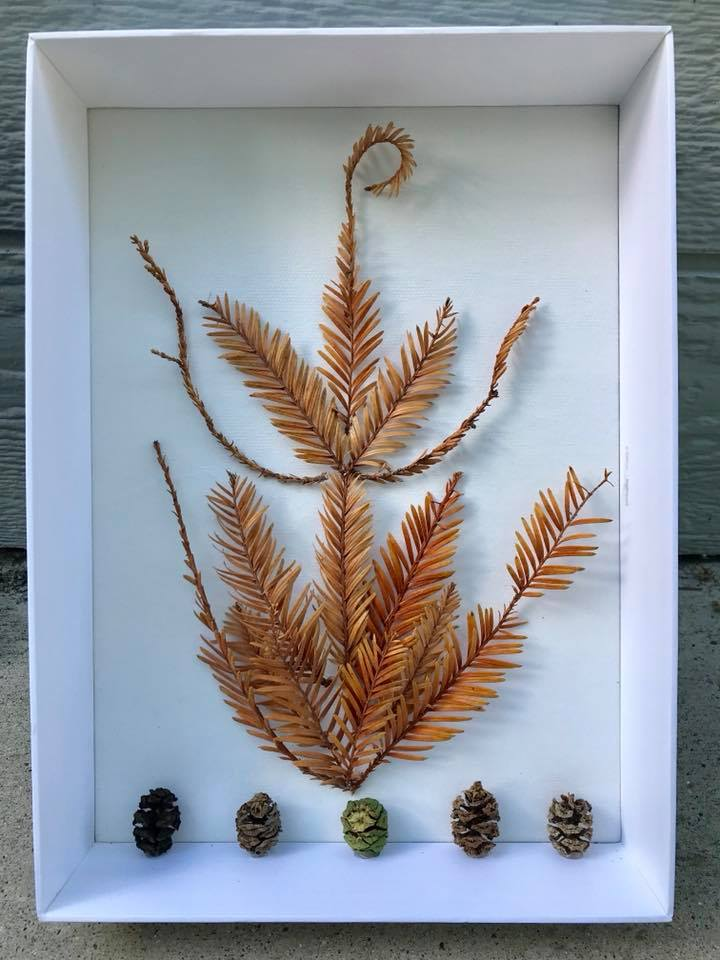 Day 261. Shadow box of Redwood Tree Needles and Mini Pine Cones