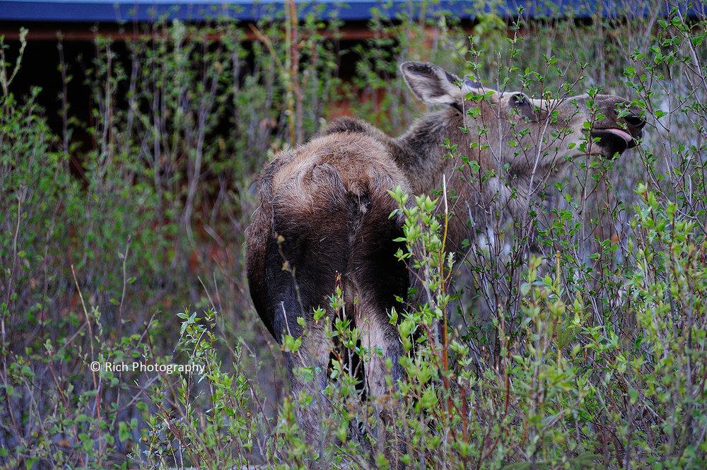 129 Denali Park Moose DSC_8430 copy.jpg
