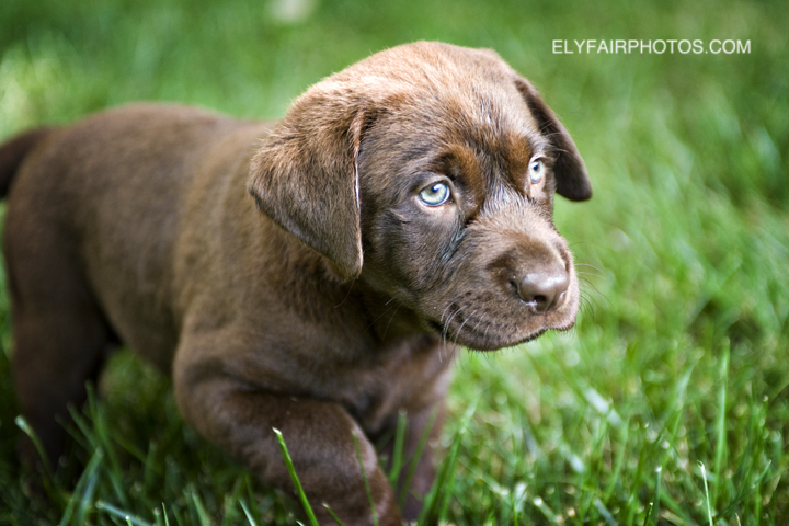 A lovely scene of this chocolate labrador retriever getting his picture taken in the grass as he explores his new world