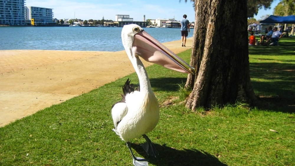 Get a picture with pelicans
