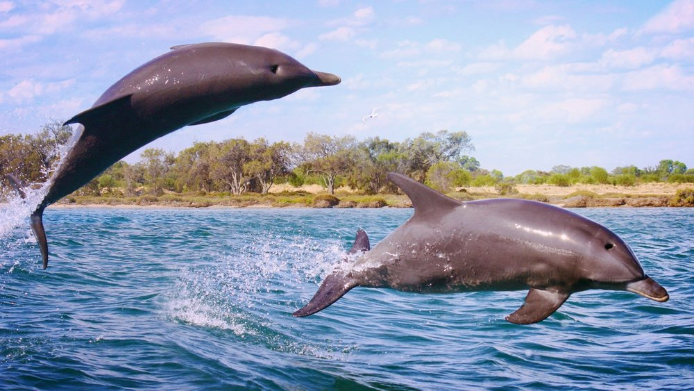 Watch dolphins dancing in the estuary