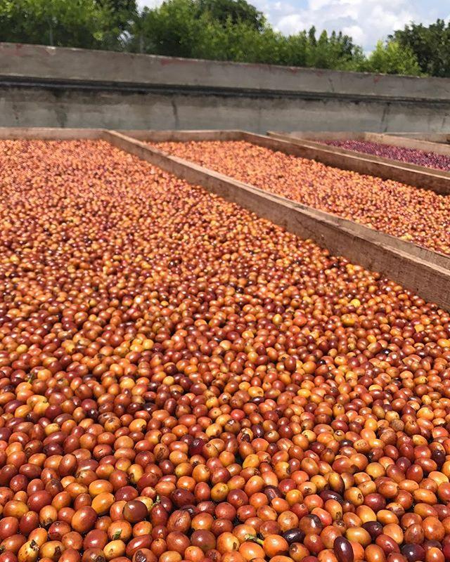 Natural Pink Bourbon Finca Villarazo . Grown by Cofinet at Finca Villarazo, processed by Cofinet at Finca La Pradera. . #colombia#quindio#australia#melbourne#sydney#perth#brisbane#pinkbourbon#exoticvarietal#coffeenerd#coffeegram#coffeeaddict#complexcup#cofinet