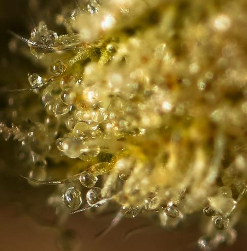 dispensary, dispensaries,  medical dispensary,  cannabis infused drinks,  cannabis jobs,
