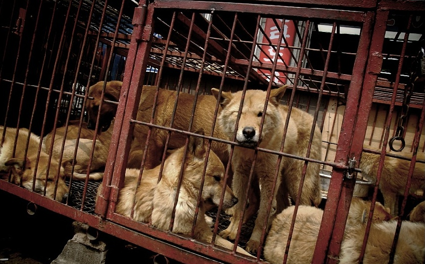 This is the unfortunate reality for thousands of dogs who go on to be slaughtered in South Korean meat markets.