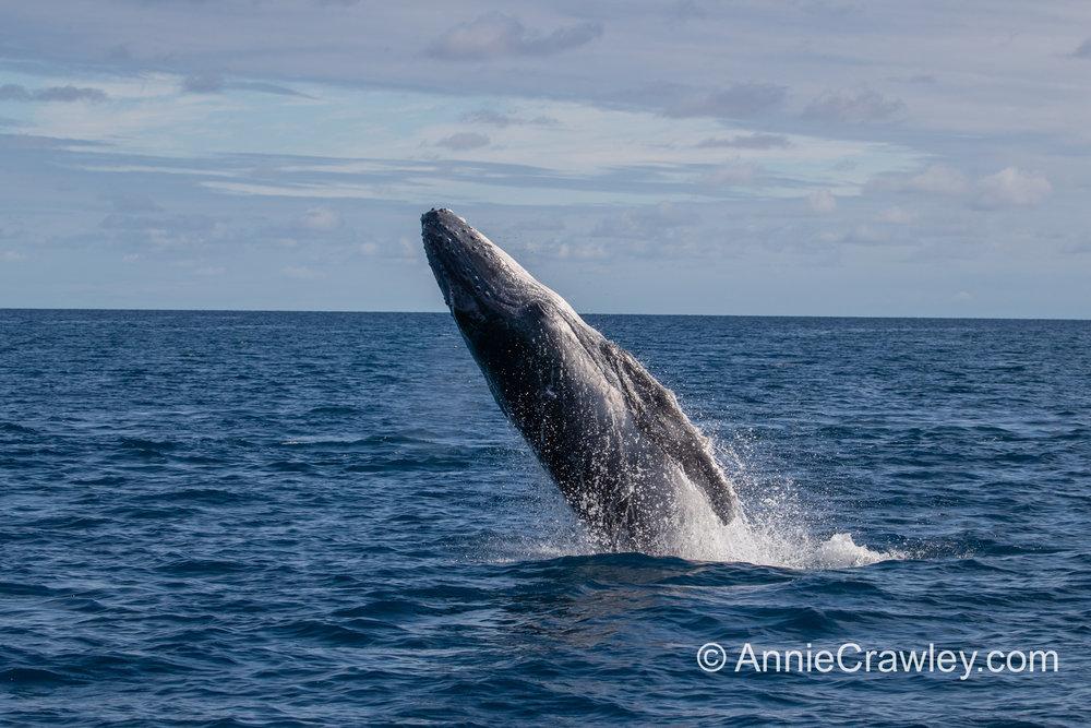 Tonga Humpback Whales Annie Crawley-0329.jpg