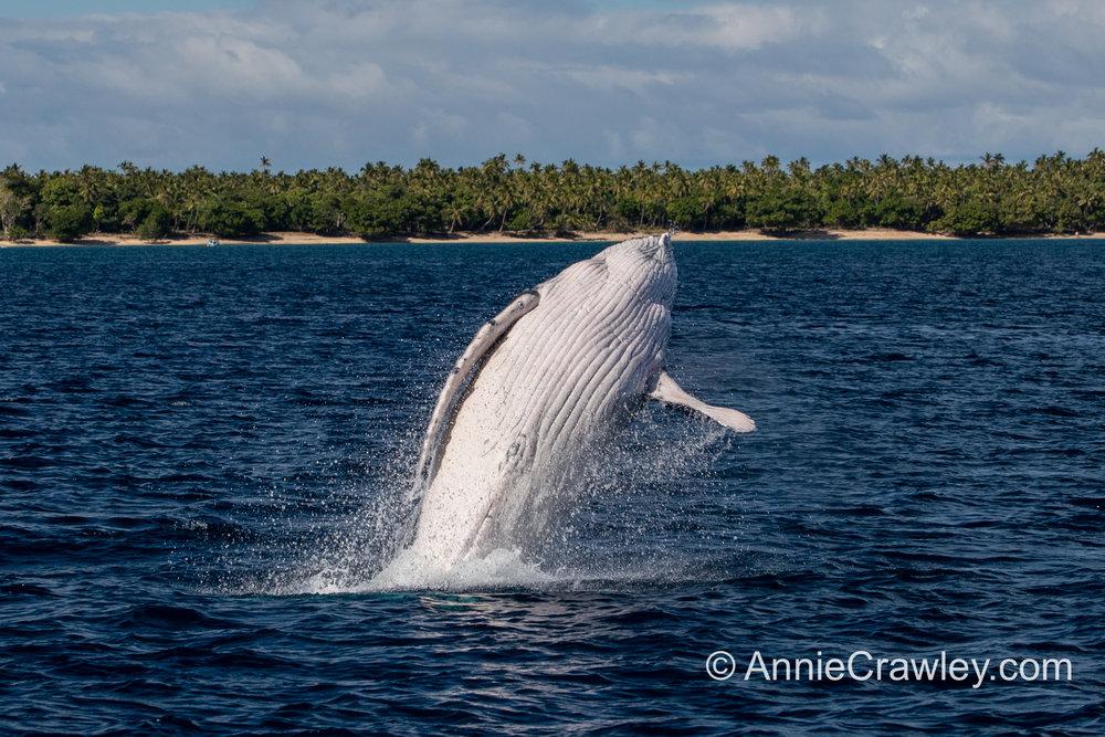 Tonga Humpback Whales Annie Crawley-0356.jpg