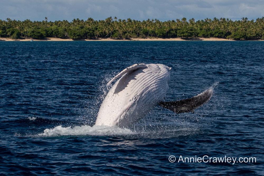 Tonga Humpback Whales Annie Crawley-0357.jpg