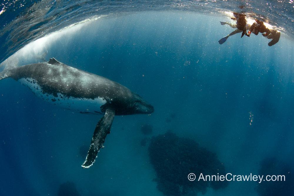 Tonga Humpback Whales Annie Crawley-0247.jpg