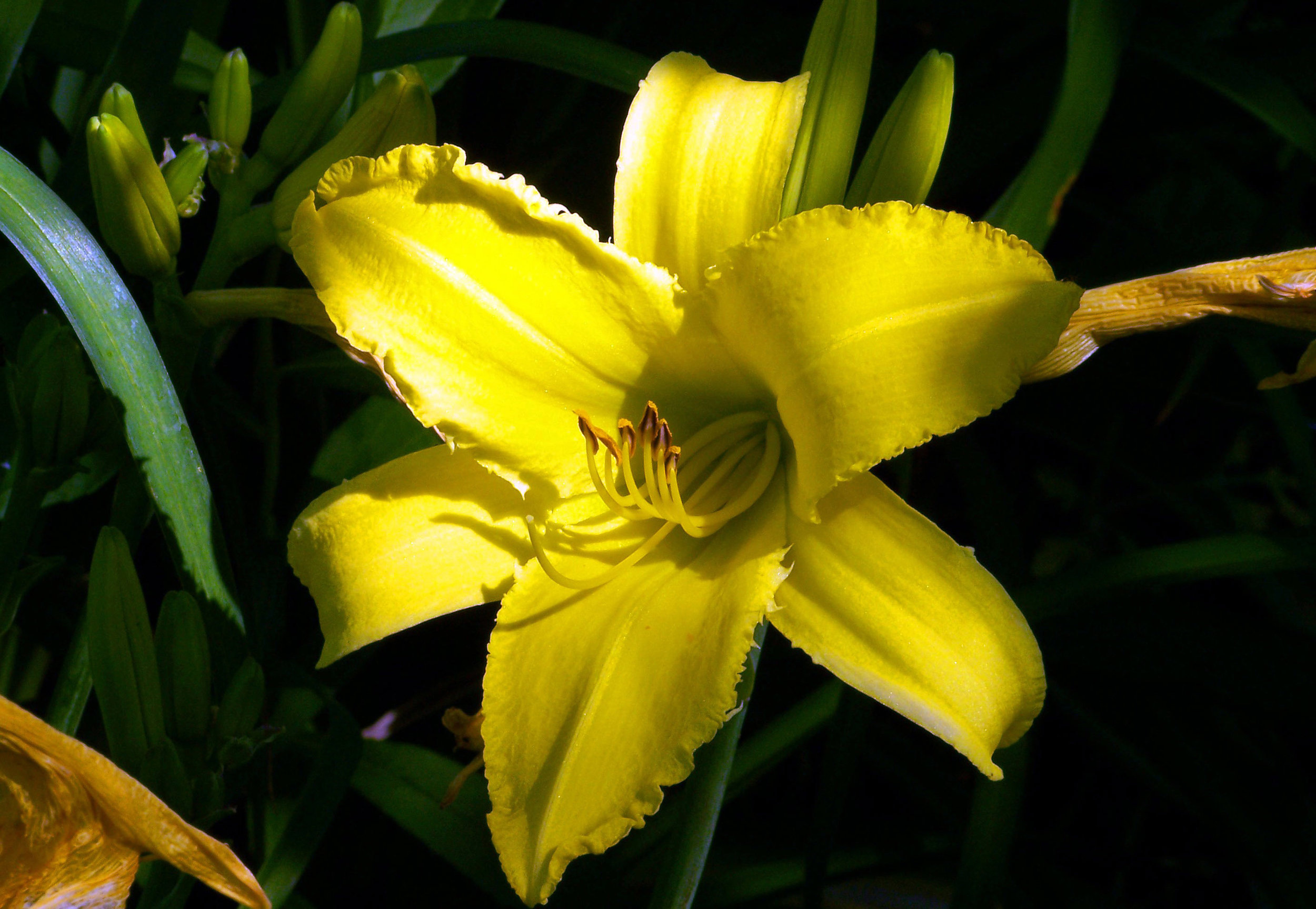 yellow-lily-flower