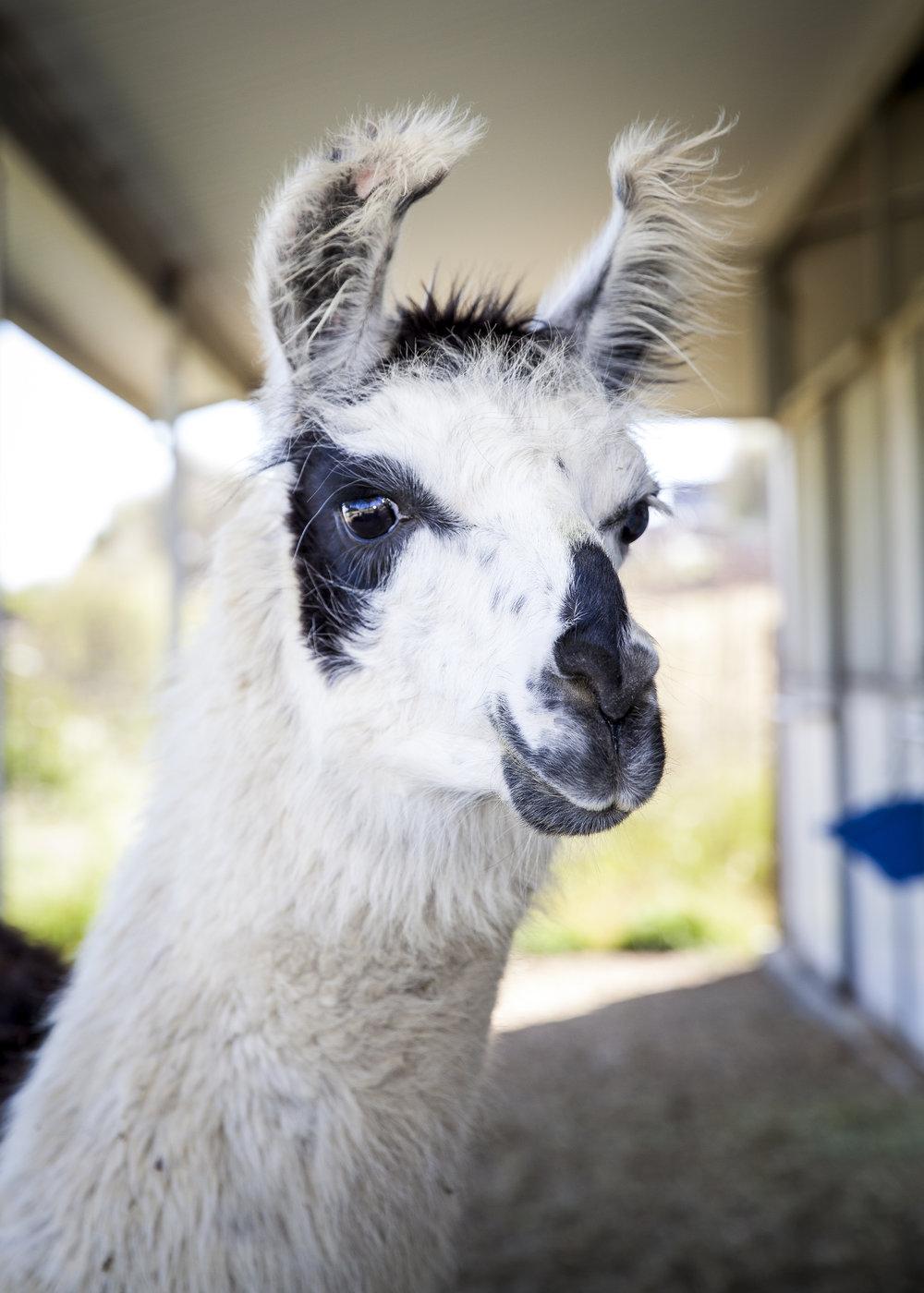 Barack O'Llama would like to meet you!