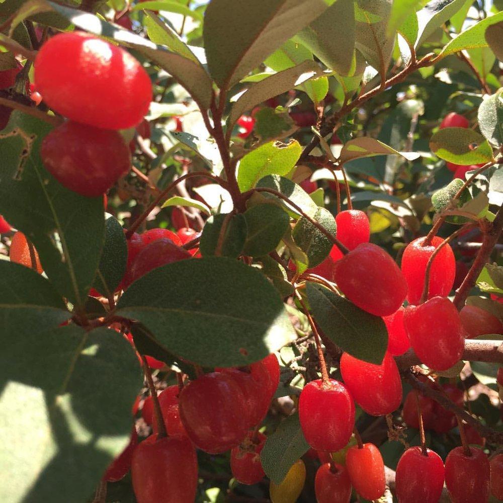 Other various fruits - Goumi Berries Aromatnaya QuinceCurrantsLoquatsBlack & white SapotePineapple Guava