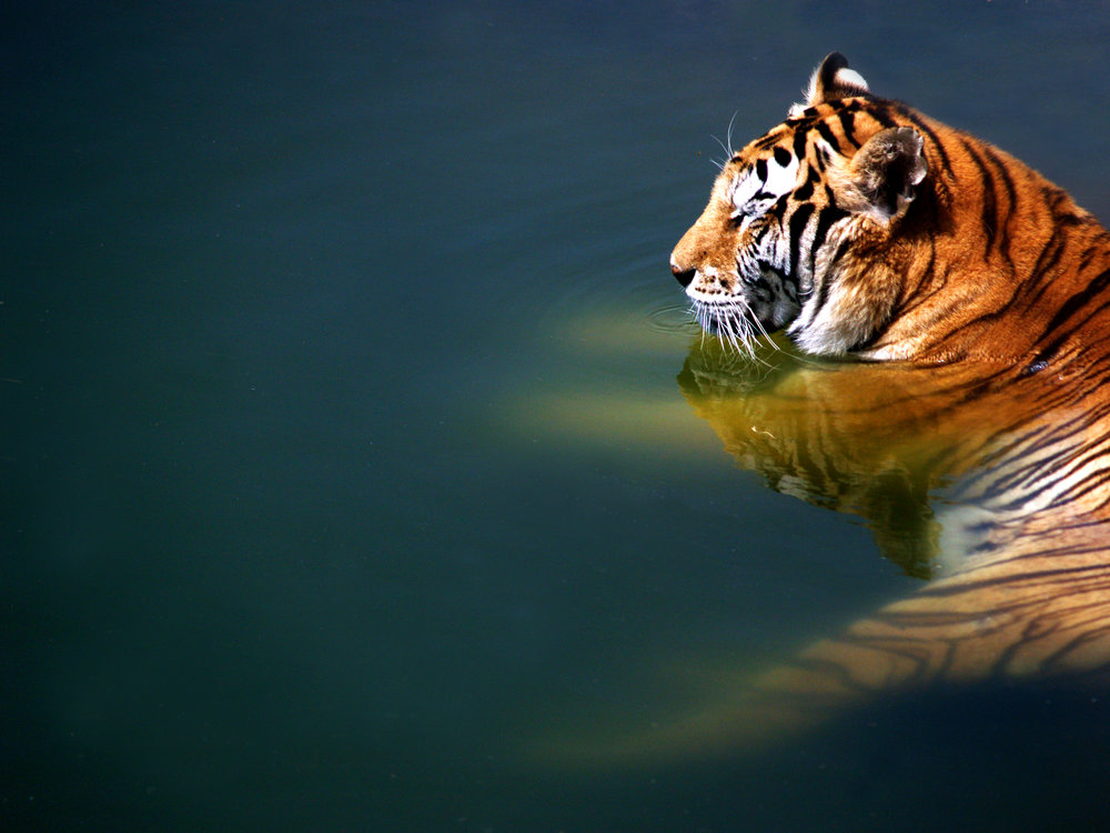 The Tiger by Manolo Toledo - Downloaded from 500px.jpg