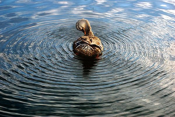 duck-ripples.jpg