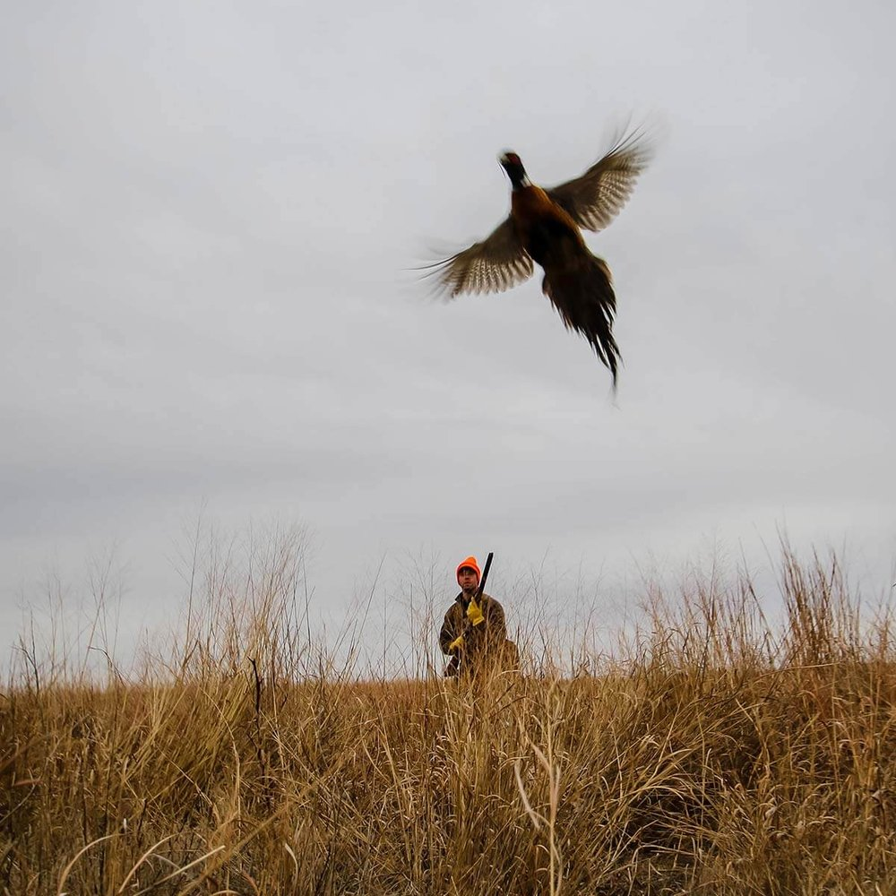 pheasant-flushing-kansas-hunts.jpg