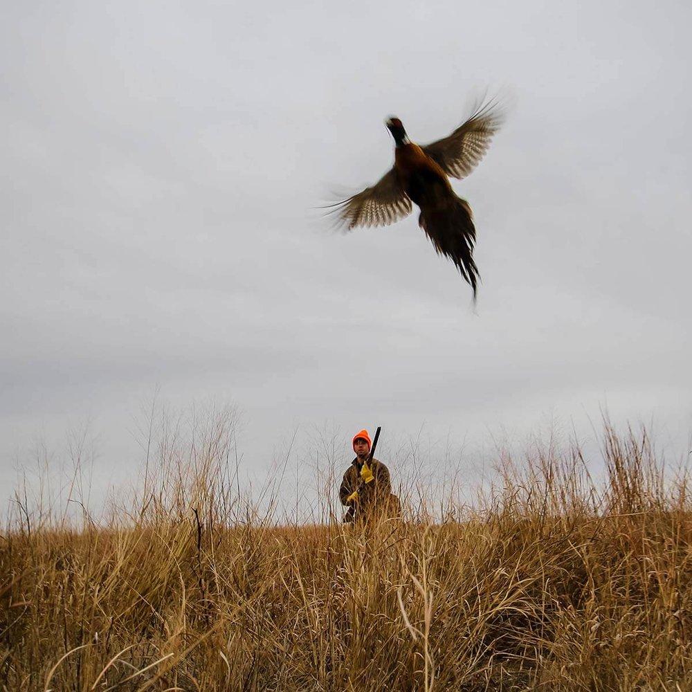 pheasant-flushing-kansas-hunts.jpg