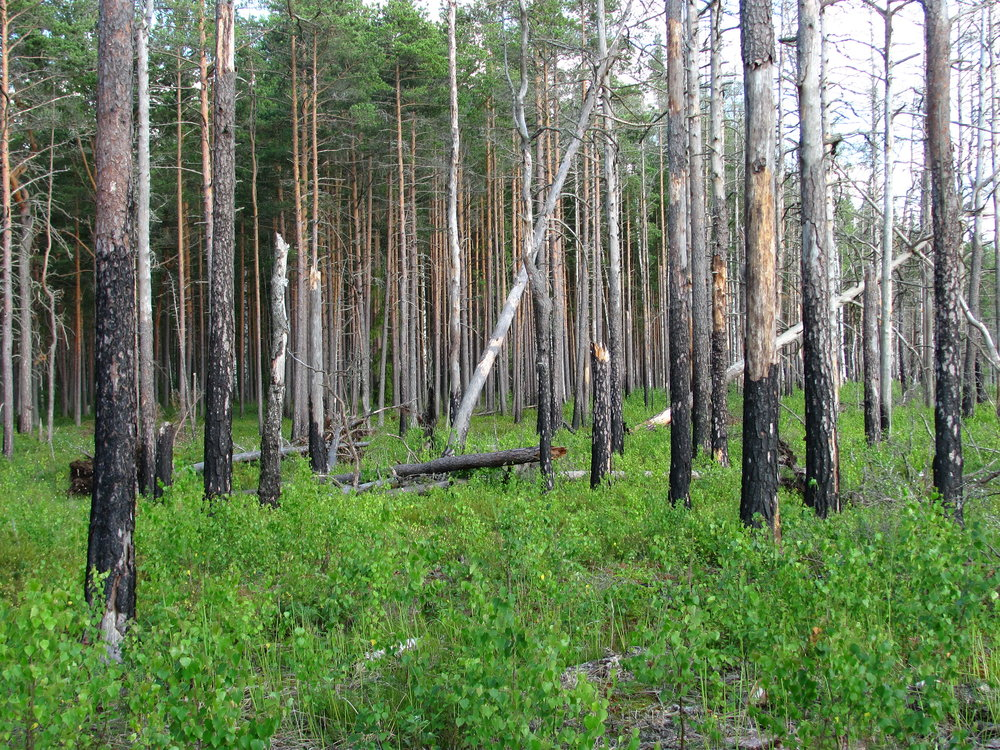 Boreal_pine_forest_6_years_after_fire,_2012-07.jpg
