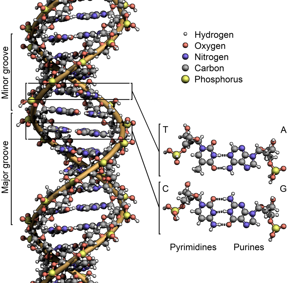 DNA_Structure+Key+Labelled.png