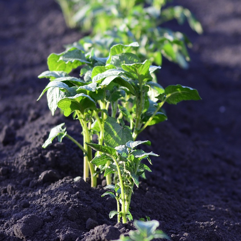 Vegetable Plants -