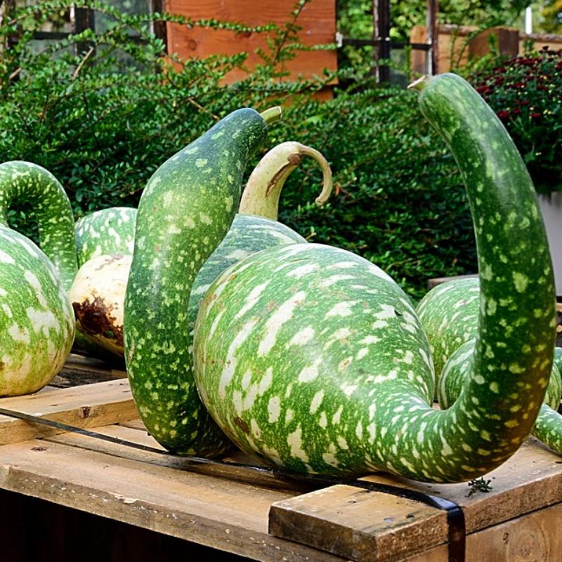 Gourds -