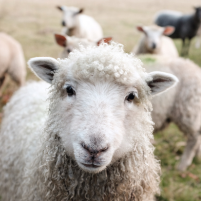 Sheep & Goat Feed -