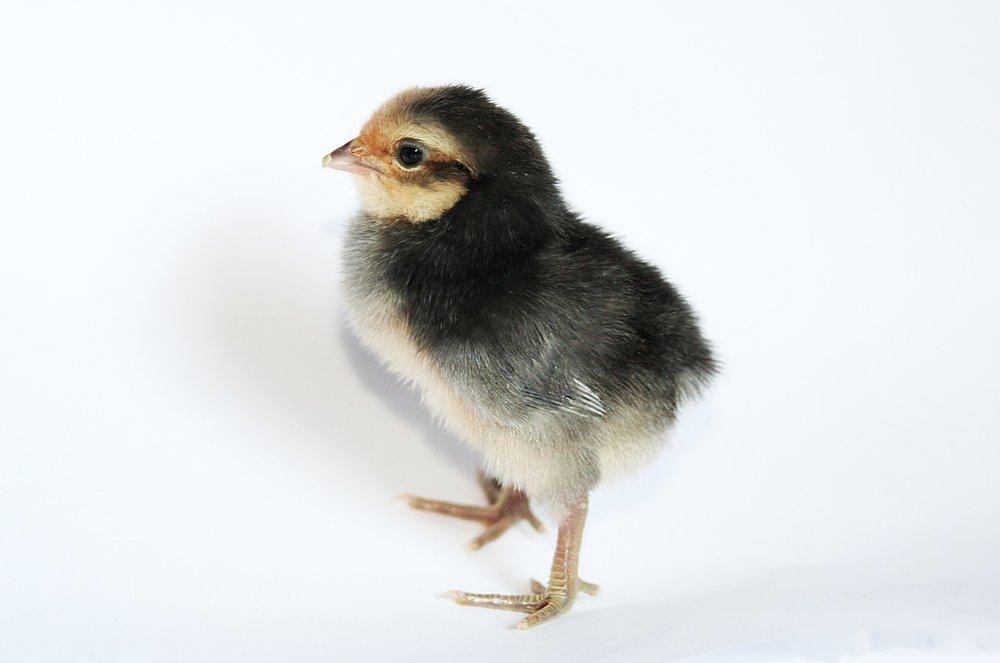 chick-2014051_1280.jpg